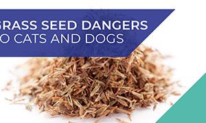 grass-seeds-dangers-dogs